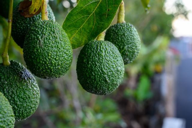 Avocado Picking And Pruning(hourly Rate Job)working Immediately