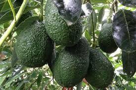 Avacado / Banana Harvesting  Season Started    # Apply Now #        # Near Cairns #    North Queensl