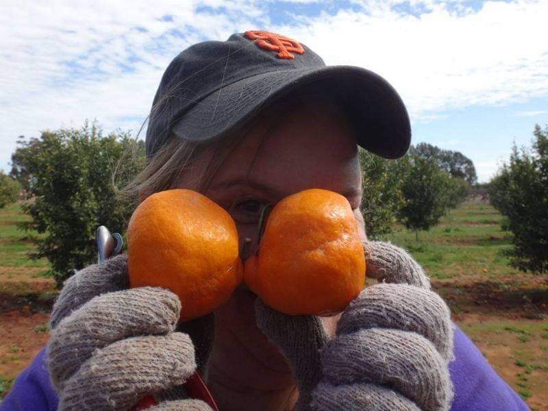 Harvesting Mandarins For One Employee Only!