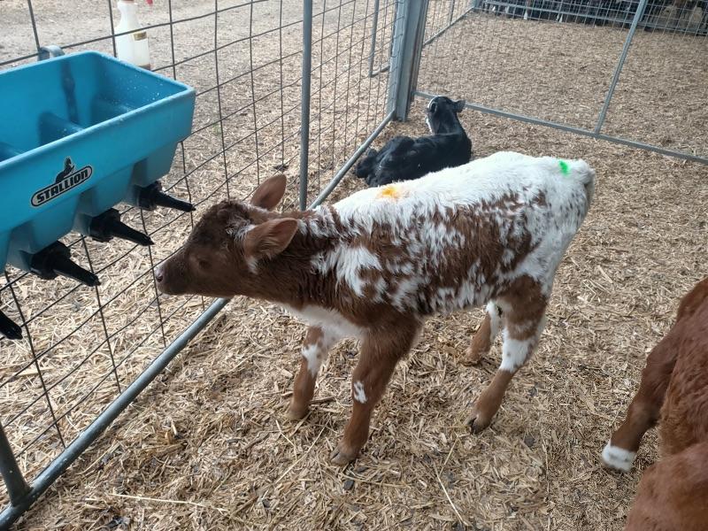 Calf Rearer - Dairy Farm