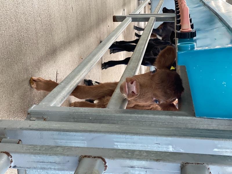 Calf Rearer