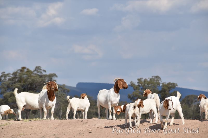 Couple To Work At Boer Goat Stud