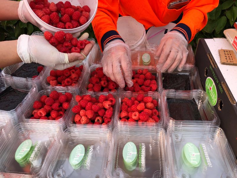 Smart Berries Crows Nest Raspberry+blueberry Pickers & Maintenance Workers Wanted !!