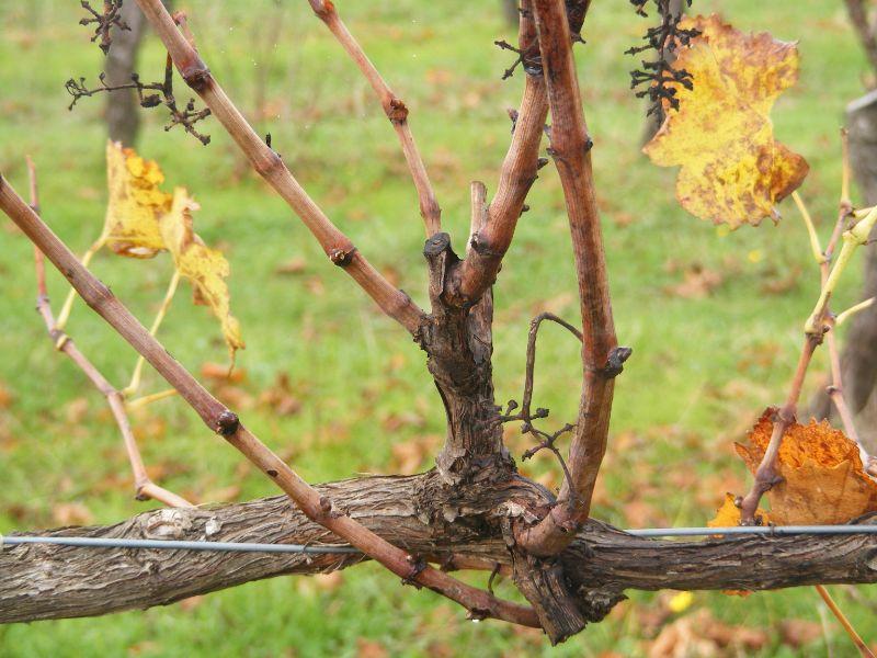 Grapevine Winter Pruning