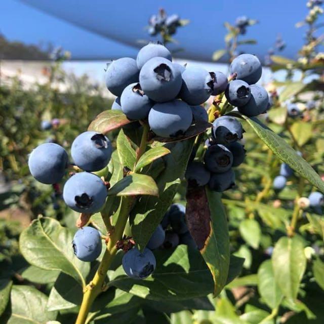 Blueberries Pickers