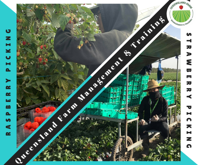 Strawberry Pickers Wanted In Caboolture-beerwah Qld