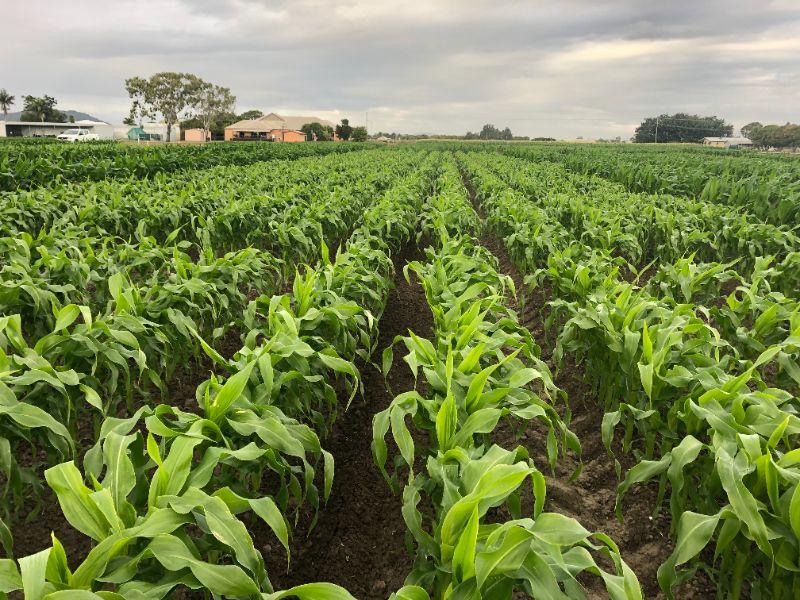 Casual Sweet Corn Harvest