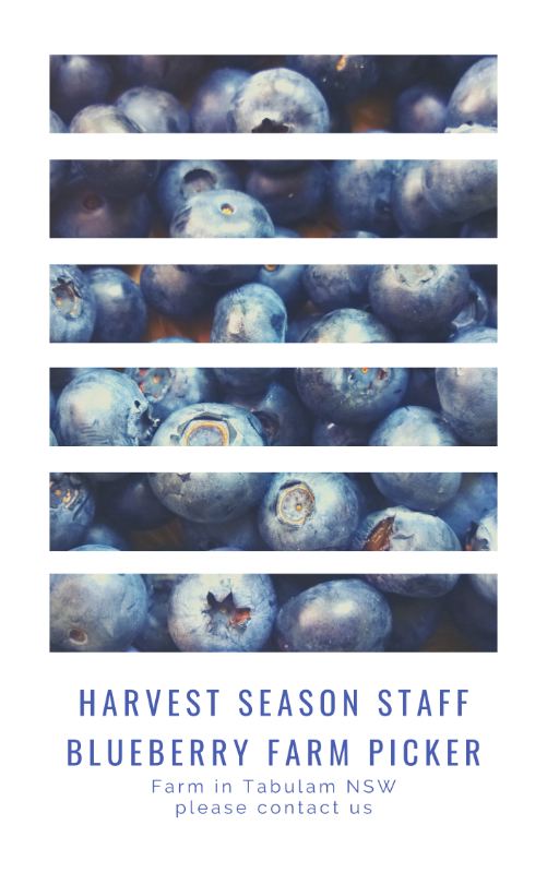 Blueberry Picking Job In Tabulam Nsw