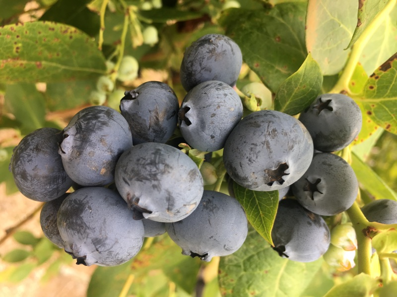 Live On A Farm Blueberry Picking