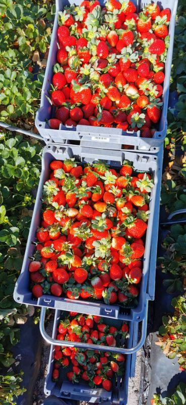 Strawberry Picker / Packer