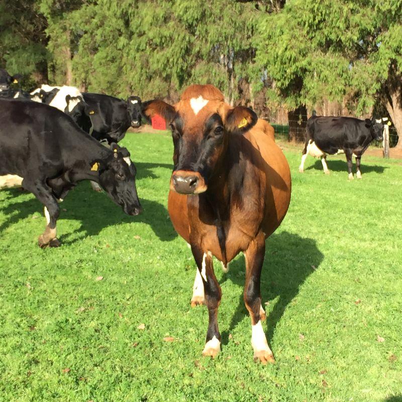 Farm Worker Dairy