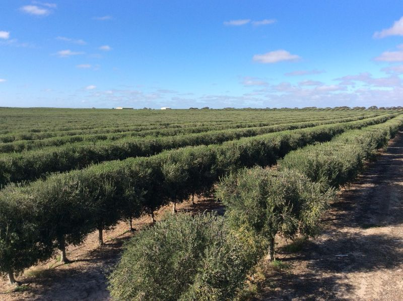 Olive Grove Irrigation Work